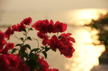 23856614 - the flowers before the sunset